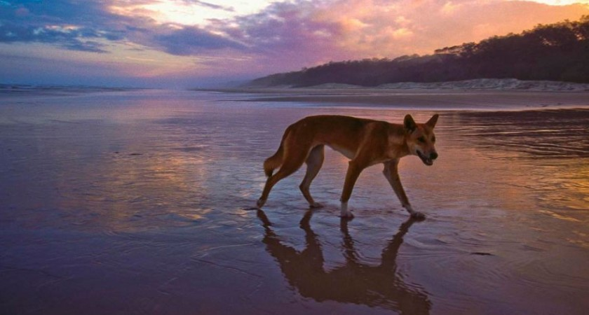 A new study suggests the dingo's origins can be traced to somewhere between South-East Asia and China.